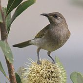Brown honeyeater stands on top of a Banksia flower