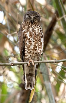 Brown Hawk Owl (40522136102).jpg