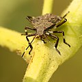 Brown marmorated stink bug nymph, front portrait (9766583696).jpg