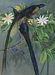 Brown sickle bill bird of paradise.jpg