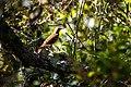 Brown thrasher (47479892122).jpg