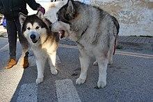 Alaskan Malamute Wikipedia