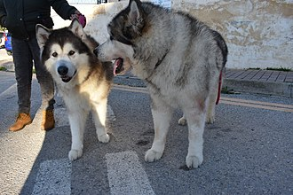 Alaskan Malamute - Alaskan Malamute siblings; female (left) and male (right)