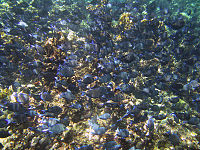 Buck Island Reef National Monument Acanthurus coeruleus.jpg