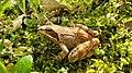 Bulgarian Wood Frog.jpg