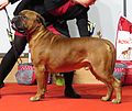 Bullmastiff in Riga 1.JPG