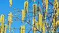 Bunga silver birch.jpg