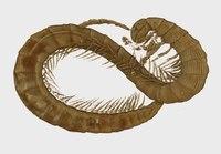 File:Burmanopetalum inexpectatum, female holotype, 3D model, volume rendering.webm