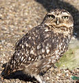 Burrowing Owl (5512297508).jpg