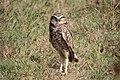 Burrowing Owl Pine Gulch Marin CA 2018-09-26 13-09-15 (44998866464).jpg