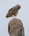 Burrowing owl - Lip Kee.jpg
