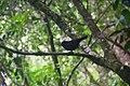 Burung hitam gunung kerinci 3805mdpl.jpeg