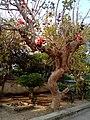 Butea monosperma tree 3.jpg