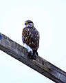 Buteo regalis Lovelock Nevada.jpg