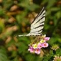 Butterfly 1410381 Nevit.jpg