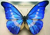 Butterfly Morpho rhetenor helena (M) KL.jpg