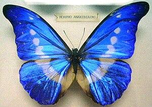 image of Butterfly Morpho rhetenor helena (M) KL