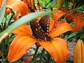 Butterfly On A Tiger Lily (174107415).jpg