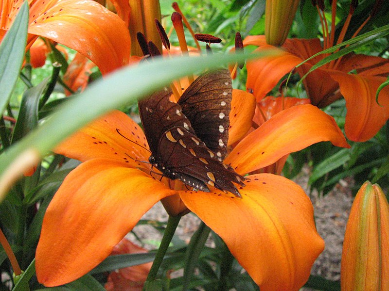 File:Butterfly On A Tiger Lily (174107415).jpg