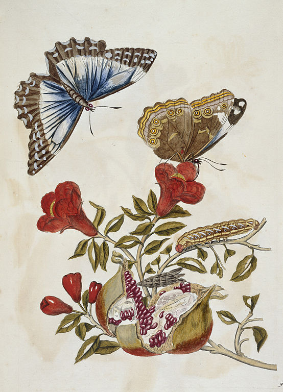 File:Butterfly and Caterpillar - Metamorphosis insectorum