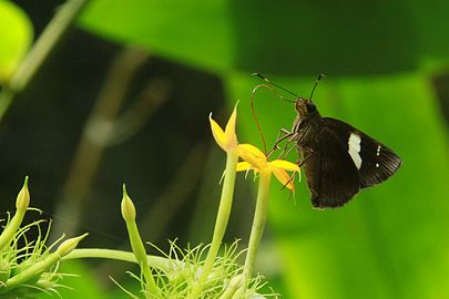 Butterfly in Lawachara national park.jpg