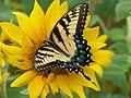 Butterfly on Sunflower.jpg