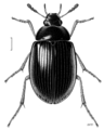 COLE Hydrophilidae Rygmodus tibialis.png
