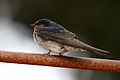 CSIRO ScienceImage 3144 Welcome Swallow.jpg
