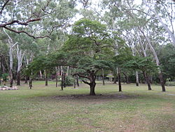 Caesalpinia coriaria, Cooktown 2010.jpg