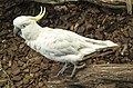 Cairns White Cockatoo-01 (23401272492).jpg