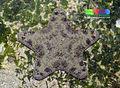 Cake sea star (Anthenea aspera) 4.jpg