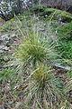 Calamagrostis nutkaensis - Regional Parks Botanic Garden, Berkeley, CA - DSC04513.JPG