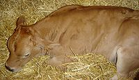 Calf sleeping DSC03982.jpg