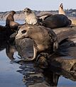 California sea lions in La Jolla (70546).jpg
