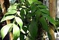 Calliandra haematocephala 8zz.jpg