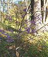 Callicarpa japonica BotGardBln1105HabitusFruitsFall.jpg