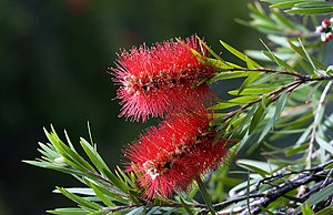 Callistemon citrinus flowers.