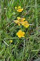 Caltha palustris (8336756025).jpg