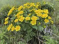Caltha palustris Marsh-marigold kingcup (bekkeblom soleihov) wetland brook (våtmark bekk) Pirane, Hvasser, Oslofjorden, Norway 2021-05-13 IMG 9455.jpg