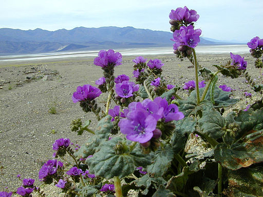Calthaleaf Phacelia, Death Valley