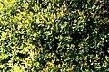 Camellia brevistyla in Auckland Botanic Gardens 03.jpg