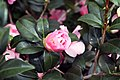 Camellia japonica Pink Icicle 3zz.jpg