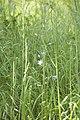 Campanula rapunculus (Campanule raiponce).jpg