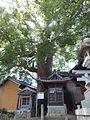 Camphor Laurel, at Sekigawa Jinja (2012.08.04) 1.jpg