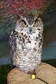 Canadian Great Horned Owl.jpg