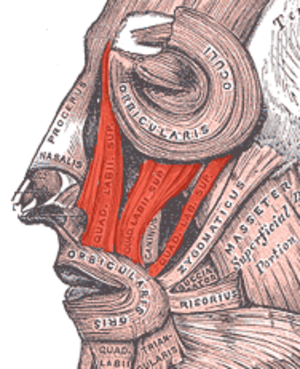Canine space - Diagram showing muscles of infra-orbital region. The levator labii superioris muscle is colored red.