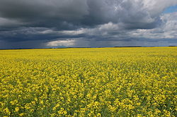 meaning of canola