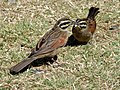 Cape Buntings (Emberiza capensis) (7034425727).jpg