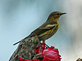 Cape May Warbler RWD2.jpg
