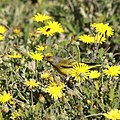Cape canary in the yellow flowers (37161617203).jpg